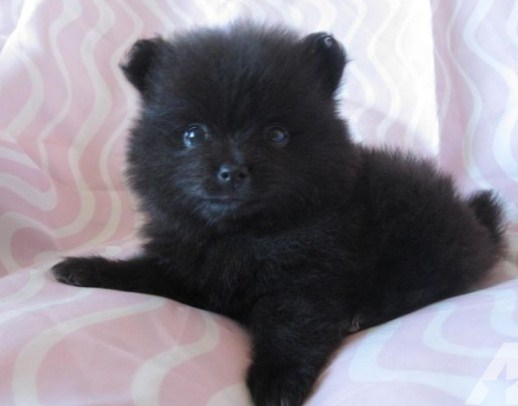 Black Teacup Pomeranian 1