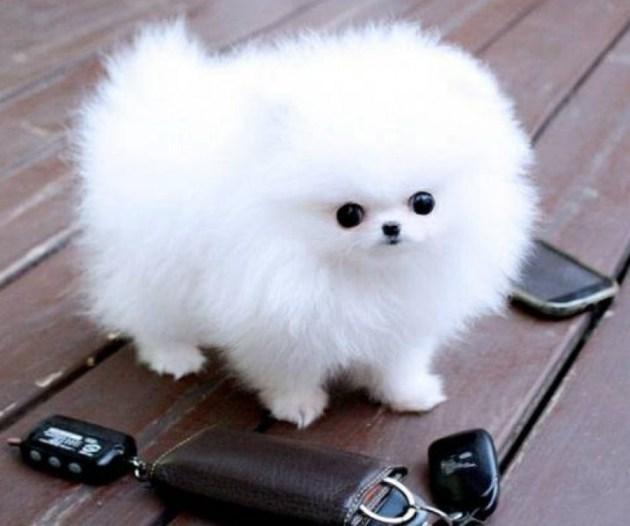 Teacup Pomeranian 1