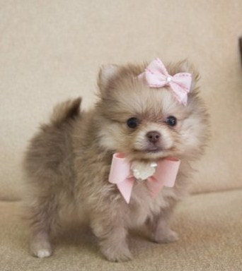 Teacup Pomeranian Full Grown 1