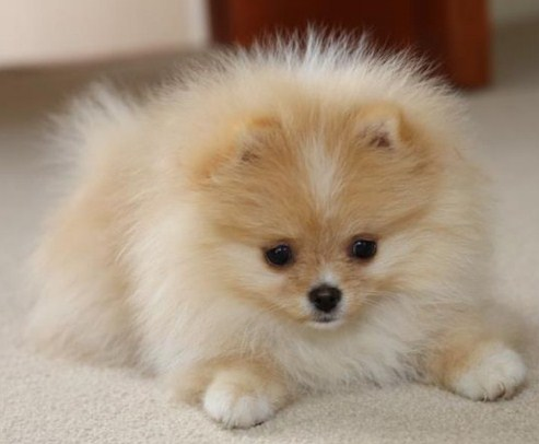 Teacup Pomeranian Full Grown 2