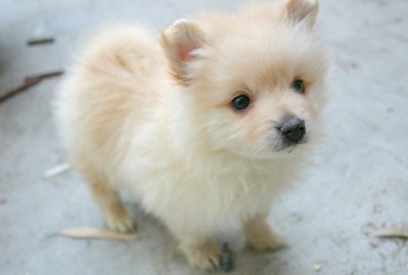 Teacup Pomeranian Husky 3
