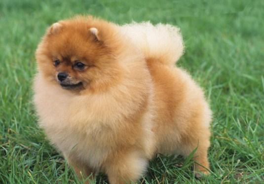 Teacup Pomeranian Info 1