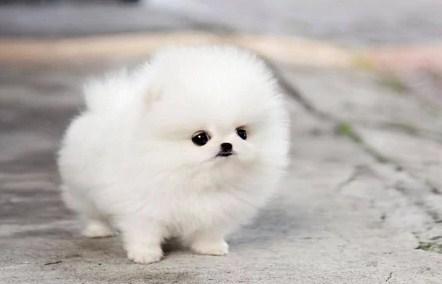 Teacup Pomeranian Lifespan 2