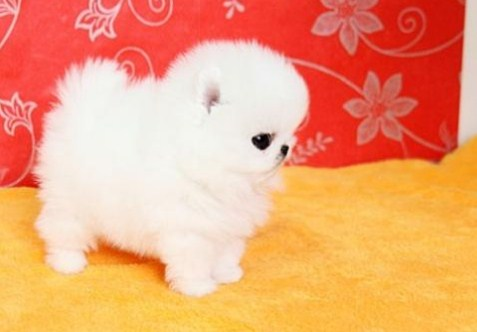 Teacup Pomeranian Price 1