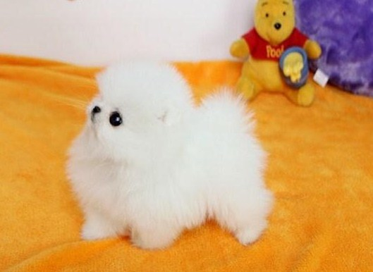 Teacup Pomeranian Price 3