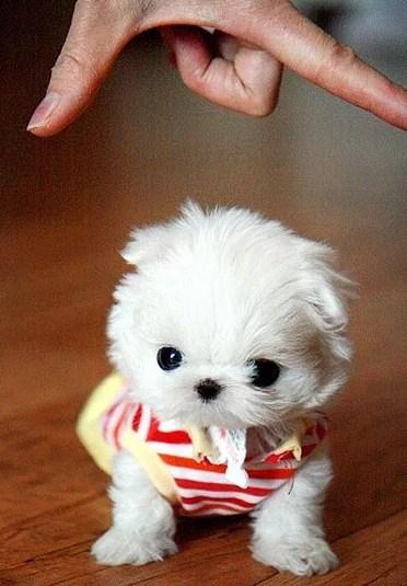 Teacup Pomeranians Cost