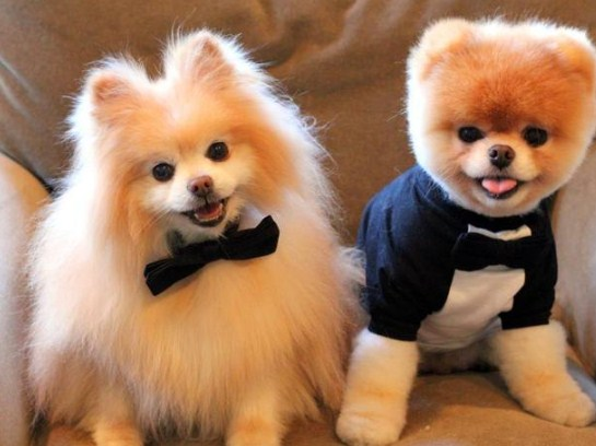 Teacup Teddy Bear Pomeranian for Sale 1