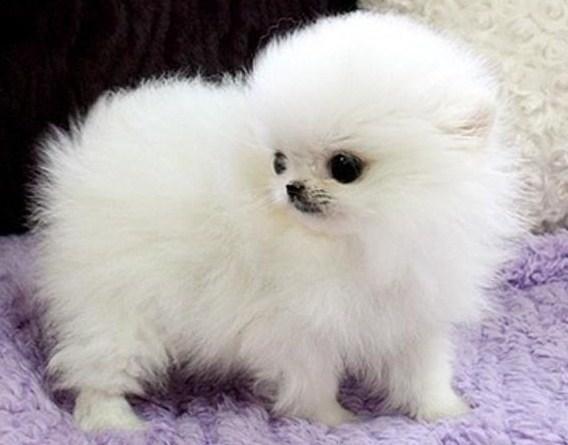 White Teacup Pomeranian 2