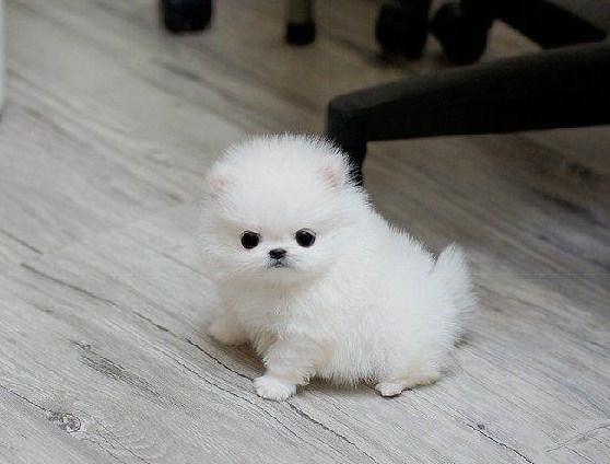 White Teacup Pomeranian 3
