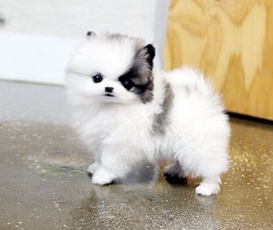 White Teacup Pomeranian Puppies for Sale 1