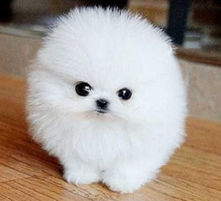 White Teacup Pomeranian Puppies for Sale 2