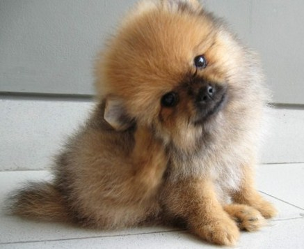 Brown Teacup Pomeranian 2