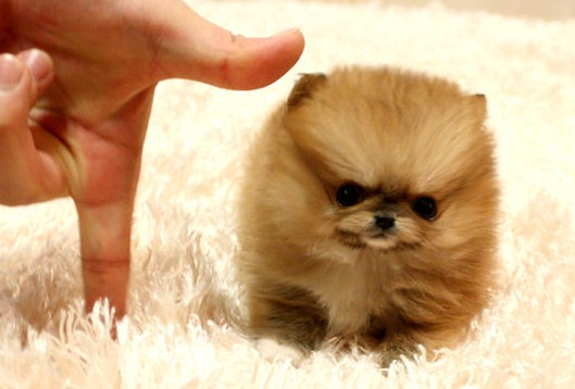 Brown Teacup Pomeranian 3