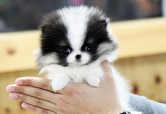 Pictures of Teacup Pomeranians 1