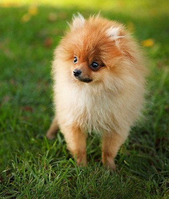 Pictures of Teacup Pomeranians 3