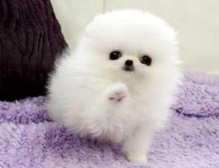 Teacup Pomeranian For Free 1