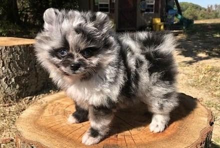 Teacup Pomeranian For Free 3