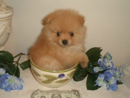 Tiny Teacup Pomeranians under $200 Cheap 3