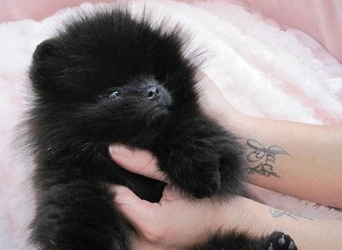 Black Teacup Pomeranian 2