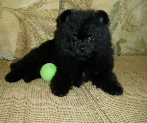 Black Teacup Pomeranian 3