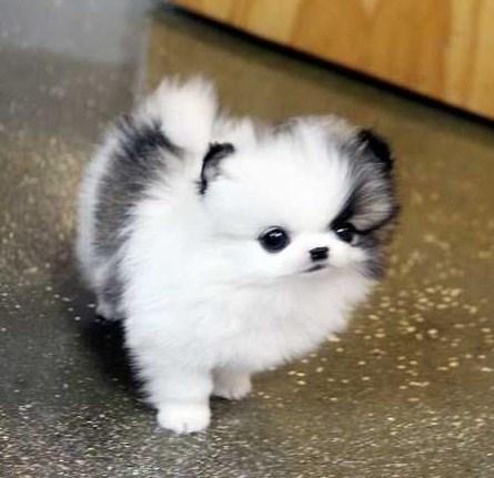 Micro Teacup Pomeranian 1