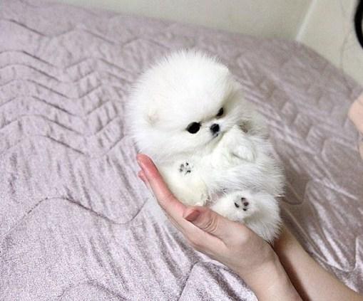 Micro Teacup Pomeranian 2