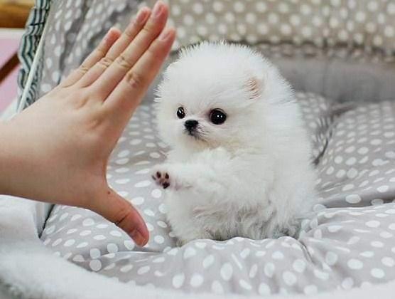 Micro Teacup Pomeranian 3
