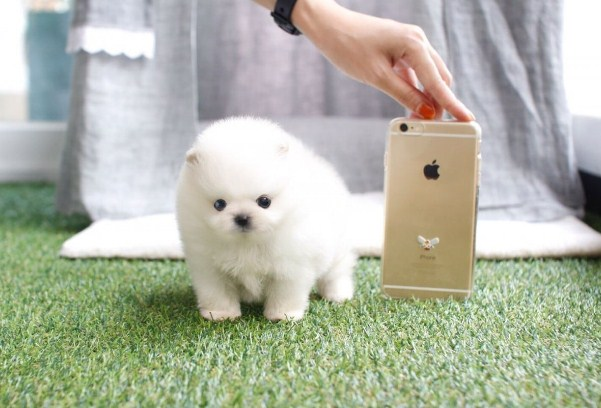 Micro Teacup Pomeranian for Sale 1