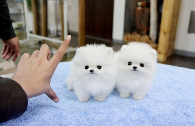 Micro Teacup Pomeranian for Sale 2