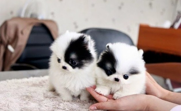 Micro Teacup Pomeranian for Sale 3