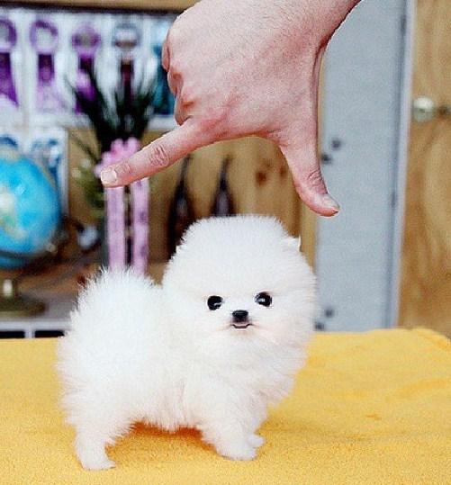 Teacup Pomeranian 2