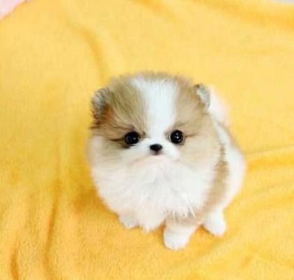 Teacup Pomeranian 3