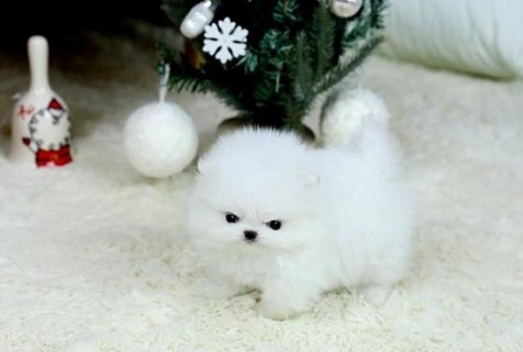 Teacup Pomeranian Breeders 2