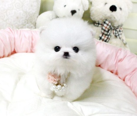 Teacup Pomeranian Breeders 3