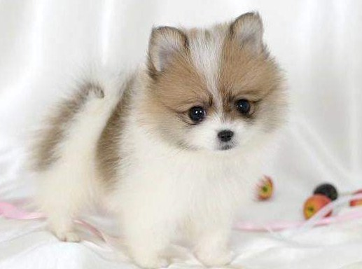Teacup Pomeranian Full Grown 3