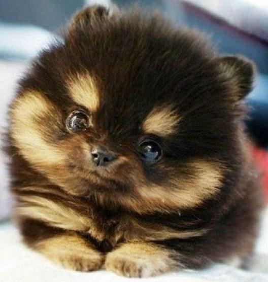 Teacup Pomeranian Husky 1