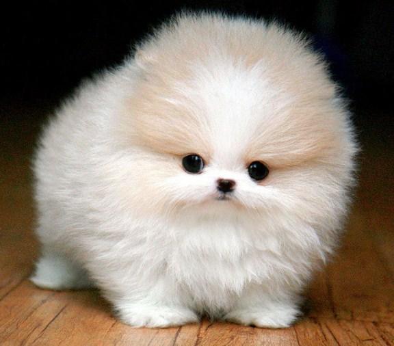 Teacup Pomeranian Husky 2