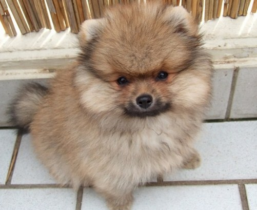 Teacup Pomeranian Lifespan 1