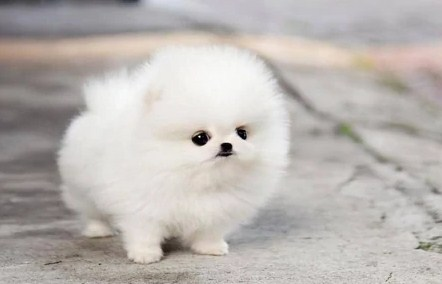 Teacup Pomeranian Lifespan 2