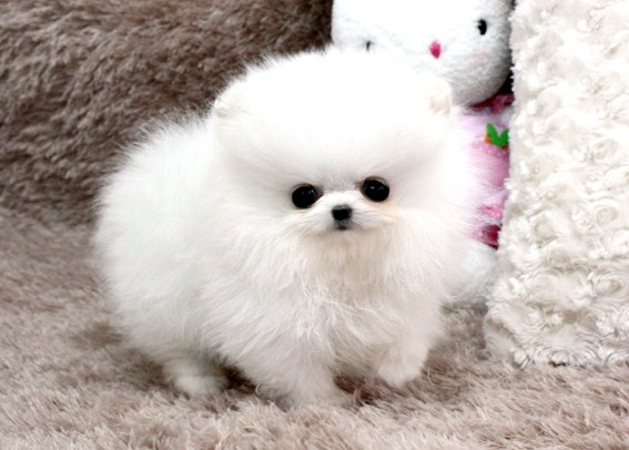 Teacup Pomeranian Lifespan 3