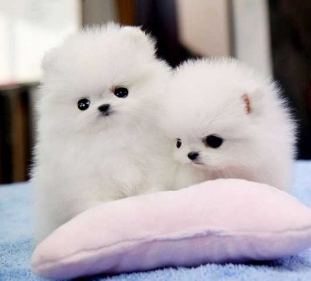 pomeranians for adoption