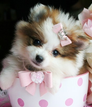 Teacup Pomeranian for Adoption 2