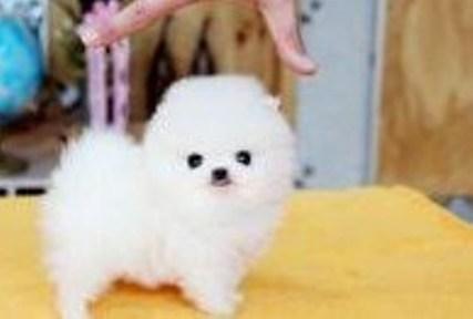 Teacup Pomeranian for Adoption 3