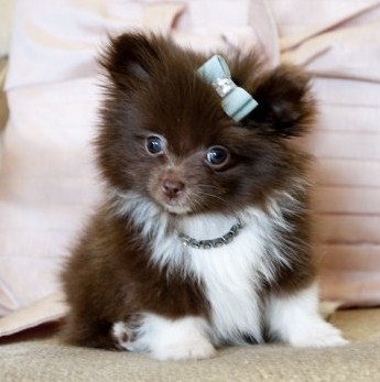 Teacup Pomeranian for Sale 1