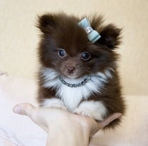 Teacup Pomeranian for Sale 2