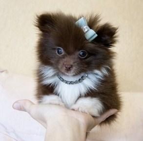 Teacup Pomeranian for Sale 2