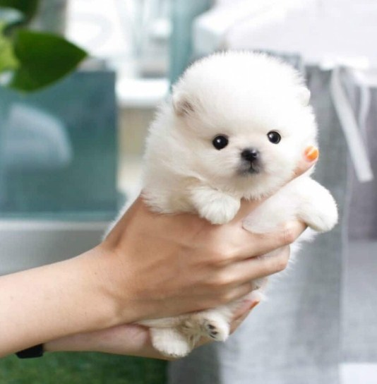 Teacup Pomeranian for Sale 3
