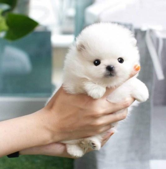 Teacup Pomeranian for Sale 3