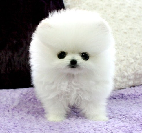 White Teacup Pomeranian 1