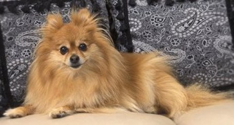 Adult Teacup Pomeranian 2